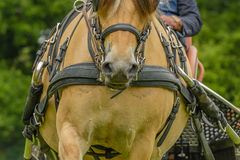 Companion Animals - Horses Royalty Free Stock Image