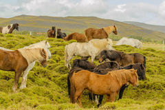 Companion Animals - Horses Royalty Free Stock Images