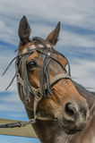 Companion Animals - Horses Stock Photo