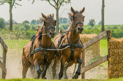 Companion Animals - Horses. Two brown horses coming out of the water hindrance during a horse event at Tienhoven, the Netherlands royalty free stock photo