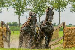 Companion Animals - Horses. Two dark brown horses coming out of the water hindrance during a horse event at Tienhoven, the Netherlands stock image