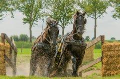 Companion Animals - Horses Stock Image