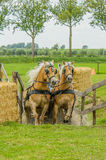Companion Animals - Horses. Two Haflinger horses coming out of the water hindrance during a horse event at Tienhoven, the Netherlands royalty free stock images
