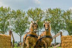 Companion Animals - Horses. Two Haflinger horses coming out of the water hindrance during a horse event at Tienhoven, the Netherlands royalty free stock photo