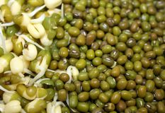 Companion of closeup germinated sprouted mung and dry mung lentils beans texture background image. Photo stock photos