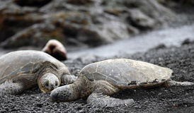 Companion Green Sea Turtles relaxing royalty free stock image