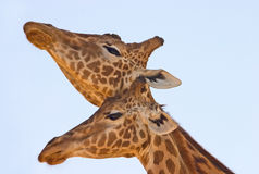 Companions. Head shot of two giraffes necking against a light blue sky. It has been observed that the length of the neck may be a product of sexual selection Stock Images
