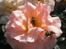 Company. Fresh rose flower bee and bug Royalty Free Stock Photos