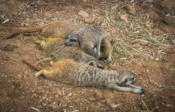 Company of little meerkats resting on a meadow Stock Photography