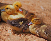 Company of small yellow dreaming ducklings Stock Images
