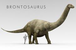 Comparación del tamaño del Brontosaurus y del ser humano del dinosaurio Fotografía de archivo