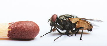 Compare of size fly Stock Images