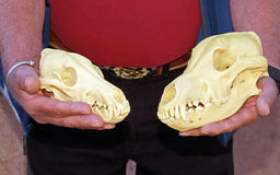 Compare wolf and coyote skulls Royalty Free Stock Photography