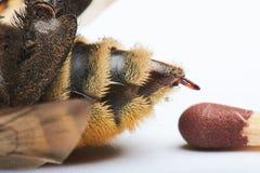 Comparer la piqûre de l'abeille au match photographie stock