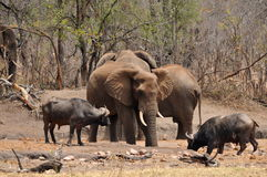 Comparing elephant with buffalo in Kruger national Royalty Free Stock Image