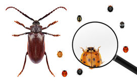 Comparison. Insects wold. Long horn beetle and various ladybugs (ladybird beetles). Ladybug view through a magnifying glass. Isolated on a white background Royalty Free Stock Photo