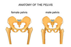 Comparison of the skeleton of the male and female pelvis stock illustration