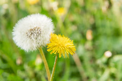 Comparison of two dandelions stock photos