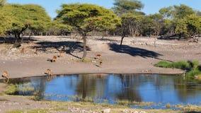 Compartilhando de um furo molhando em Namíbia África Foto de Stock
