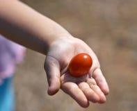 Compartilhando do tomate Imagens de Stock
