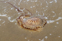 Compass jellyfish at the beach Royalty Free Stock Images