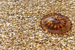Compass jellyfish (Chrysaora hysoscella) over seashell Stock Image