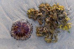 Compass jellyfish. Washed up on a Cornish beach Royalty Free Stock Photos