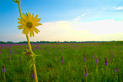 Compass Plant 1 Stock Image