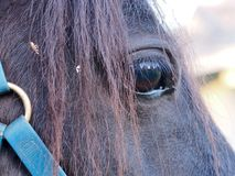 Compassionate Penetrating Focused Close Up of a Gentle Pony. A wonderful Close up image of a Pony`s Eye with a Blue Bridle Royalty Free Stock Images