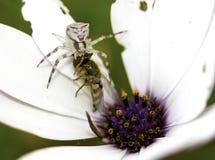 Compensi la deriva il ragno con un fronte del gatto sul suo corpo Fotografia Stock