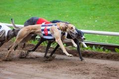 Competência de cães do galgo Fotografia de Stock Royalty Free