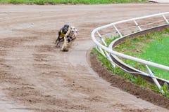 Competência de cães do galgo Foto de Stock Royalty Free