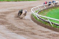 Competência de cães do galgo Imagem de Stock
