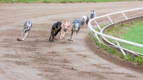 Competência de cães do galgo Imagem de Stock Royalty Free