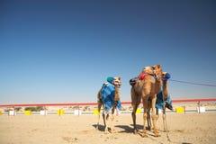 Competência de camelo do robô fotografia de stock