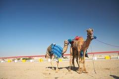 Competência de camelo do robô foto de stock