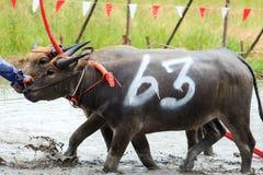Competência tailandesa do búfalo Fotos de Stock Royalty Free