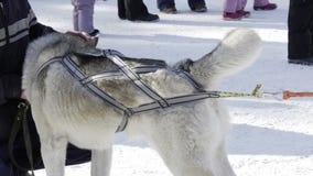 Competencia en competir con de perro de trineo y skijoring almacen de metraje de vídeo