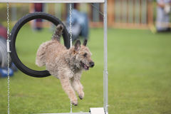 Competição da agilidade Foto de Stock