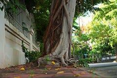 Competição da raiz do ficus com a árvore plantada Foto de Stock Royalty Free