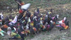Competição do pombo de Colombine na terra no lento-movimento video estoque