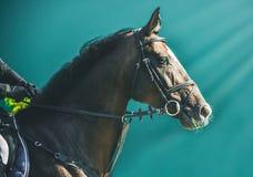 Competição do Showjumping, cavalo de baía e cavaleiro no uniforme preto que vai executando o salto Fotos de Stock