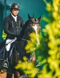 Competição do Showjumping, cavalo de baía e cavaleiro no uniforme preto que vai executando o salto Imagem de Stock Royalty Free