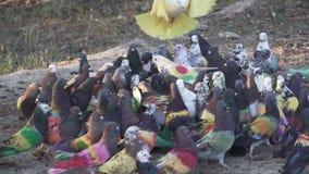 Competição na terra, lento-movimento do pombo de Colombine vídeos de arquivo