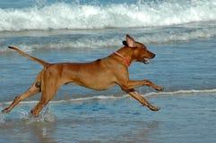 Competindo o cão Imagem de Stock Royalty Free