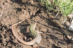 Competindo o lagarto Fotografia de Stock Royalty Free