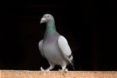 Competindo o pombo imagens de stock