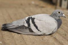 Competindo o pombo Fotos de Stock Royalty Free