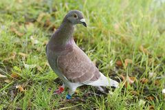 Competindo o pombo Foto de Stock