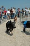 Competindo porcos Imagem de Stock